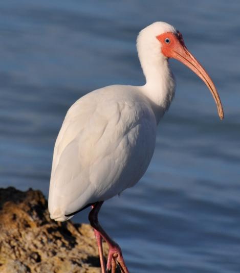 white_ibis_david_ryan_dsc_0064